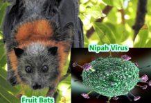 nipah virus